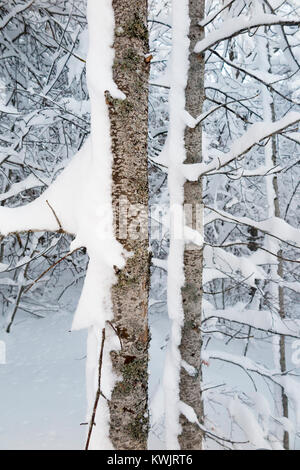 A tree with branches covered in snow after a windy blizzard are falling snowflakes. (93) - Stock Photo
