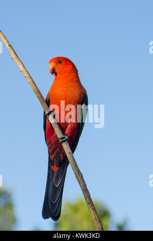 Australian Male King Parrot,alisterus scapularis. - Stock Photo