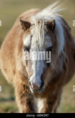 Blue-eyed Pony (Equus ferus caballus) front view close-up. - Stock Photo