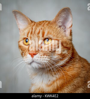 Portrait of a red cat. - Stock Photo