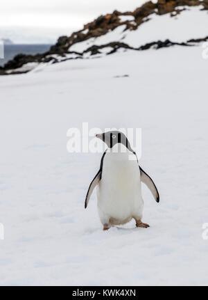 Adélie penguin; Pygoscelis adeliae; Arctowski; Polish Research Station; King George Island; Antarctica - Stock Photo