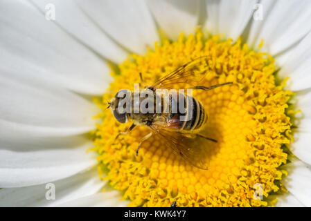 extreme close up of a honey bee pollinating a daisy flower in summer - Stock Photo