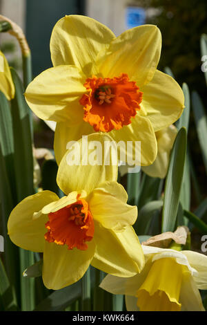 Springtime flowers including tulips and daffodils in gardens around Washington DC - Stock Photo