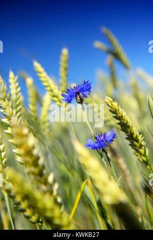 Blue cornflowers (Centaurea cyanus) in the wheat field in Kirchwerder, Hamburg, Germany, Europe, Blaue Kornblumen - Stock Photo