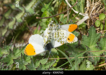 Mating behaviour of orange tip butterflies (Anthocharis cardamines) - several males trying to mate with a female - Stock Photo