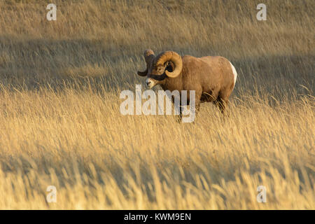 Rocky Mountain Bighorn Ram (Ovis canadensis) standing in a mountain meadow near Talbot Lake, Jasper National Park, - Stock Photo