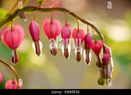 horizontal macro, stem of bleeding hearts; pink, white and juicy. beautiful soft green background with shallow depth - Stock Photo