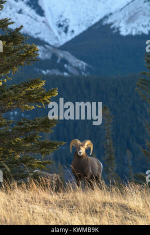 Rocky Mountain Bighorn Ram (Ovis canadensis) near Talbot Lake in Jasper National Park, Canada - Stock Photo