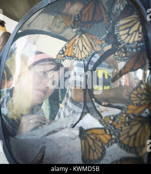 Davenport, Iowa, USA. 17th Sep, 2016. Jennifer Vogel of Bettendorf watches a cluster of Monarchs waiting to be tagged - Stock Photo