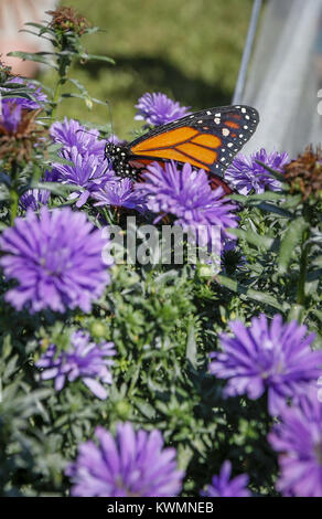 Davenport, Iowa, USA. 17th Sep, 2016. A lone Monarch clings to flowers after the rest are released at the Nahant - Stock Photo
