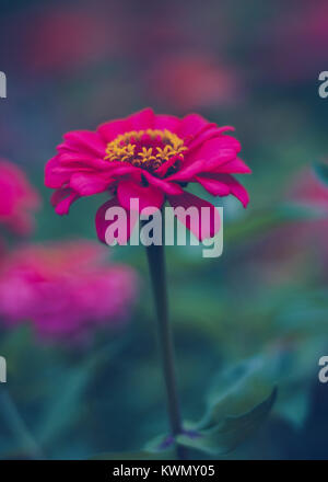 Pink flower with yellow center on green nature background stock zinnia pink flower petals and yellow center on green and pink background with yellow star pollen mightylinksfo Image collections