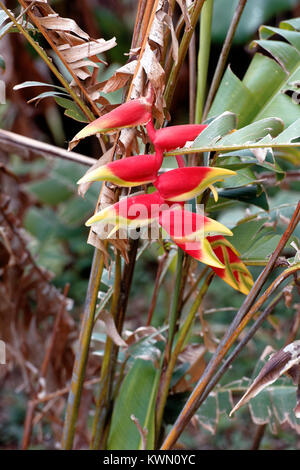 The False Bird of Paradise plant, aka lobster claw in Costa Rica - Stock Photo