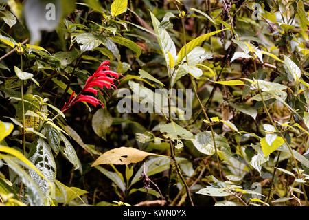 Long red petals on a flower in the green on the Monteverde cloud forest, Costa Rica - Stock Photo