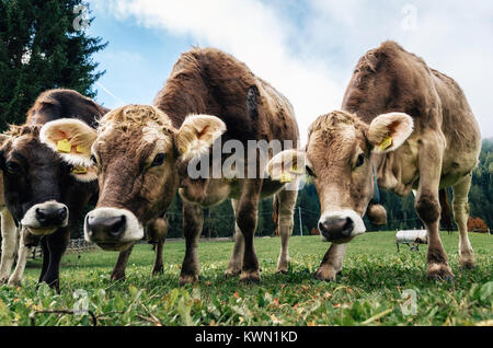 Brown cows grazing in an alpine meadow close up looking the camera in Italy