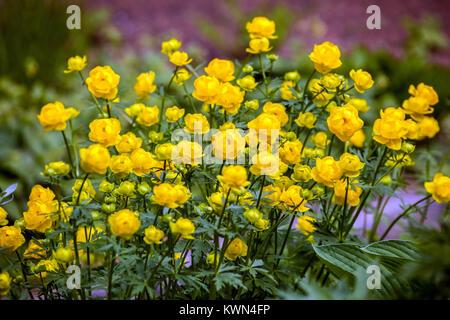 Yellow Globeflower, Trollius europaeus - Stock Photo