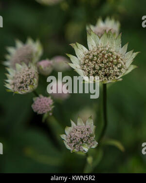 White Astrantia Major flowers. - Stock Photo