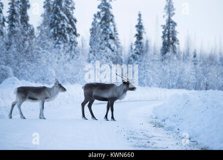 Reindeer couple in the winter environment - Stock Photo