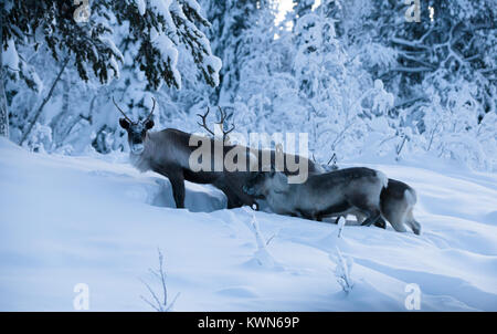 Reindeer digs in the snow for bait - Stock Photo