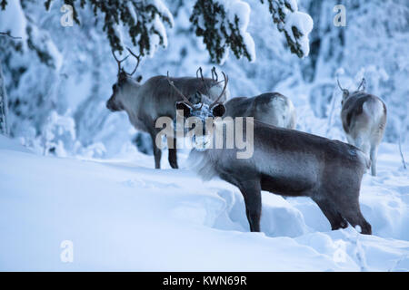Reindeers digging for food in the deep snow. - Stock Photo