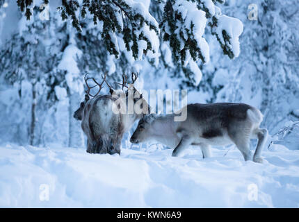 Reindeer in search for bait beneath the snow. Swedish Lapland. - Stock Photo