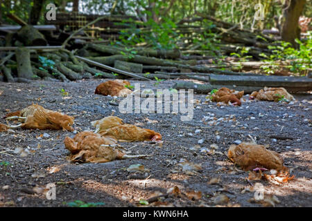 Flock of dead chickens lying scattered inside backyard chicken coop, killed by red fox (Vulpes vulpes) - Stock Photo