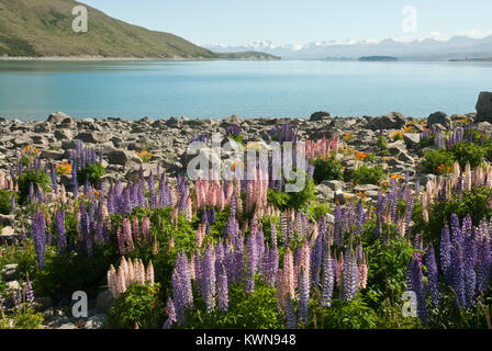 Colourful landscape of Lake Tekapo, Spring/ Summer, with blue lake surrounded by snow capped mountains and colourfull - Stock Photo