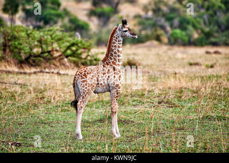 new born Masai giraffe, Giraffa camelopardalis tippelskirchi, Serengeti National Park, UNESCO world heritage site, - Stock Photo