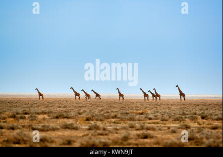herd of Masai giraffes on dry Serengeti plains, Serengeti National Park, UNESCO world heritage site, Tanzania, Africa - Stock Photo