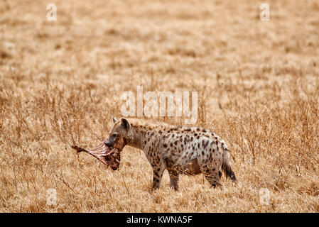Spotted hyena (Crocuta crocuta) in Ngorongoro Conservation Area, UNESCO world heritage site, Tanzania, Africa - Stock Photo