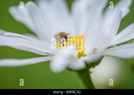 closeup of bee on white daisy - Stock Photo