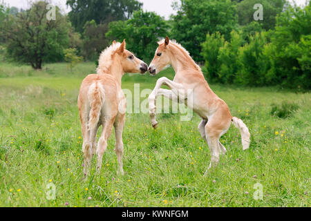 Two cute Haflinger horse foals have fun, playing, rearing and frolic around in a meadow in spring, Germany. - Stock Photo