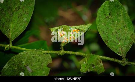 Red-eyed Tree Frog, Agalychnis callidryas by night - Stock Photo