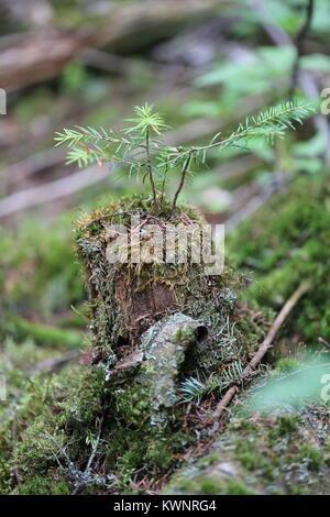 Balsam Fir [Abies balsamea] growing out of small stump. - Stock Photo