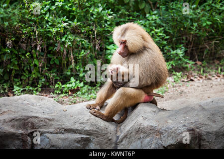 The hamadryas baboon is holding the cub - Stock Photo