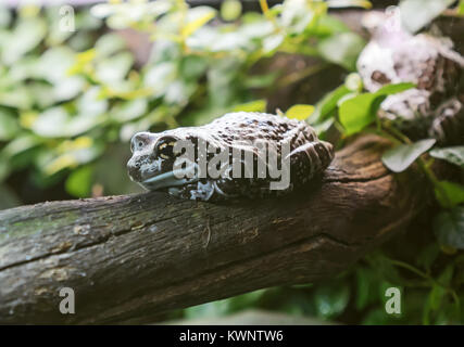 Mission golden-eyed tree frog. Trachycephalus resinifictrix. - Stock Photo