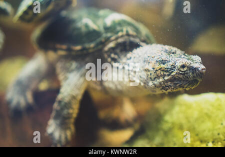 Common snapping turtle in the zoo. Chelydra serpentina. - Stock Photo