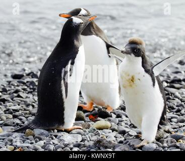 Penguins photographed during a 2 month tour of the various islands of antartica 2017 - Stock Photo