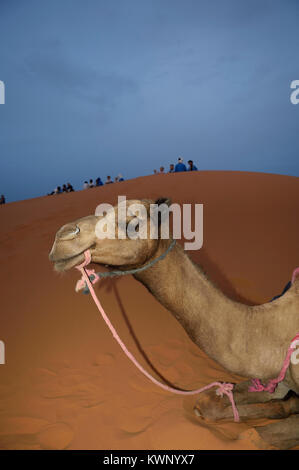 camel excursion to the sand dunes at Merzouga, Morocco, North Africa - Stock Photo