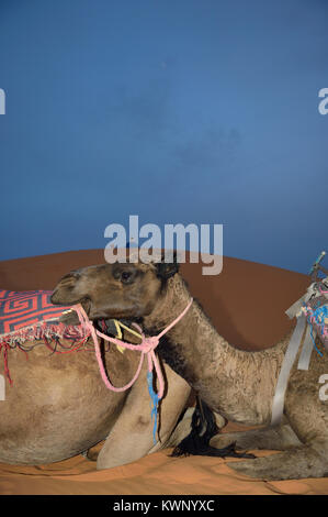 camels resting on the sand dunes at Merzouga, Morocco, North Africa - Stock Photo