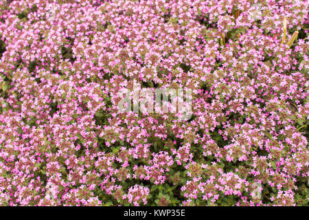 Small purple ground cover flowers stock photo 143126989 alamy small purple native wa flower background of a ground cover plant with small pink flowers thyme creeping stock photo mightylinksfo