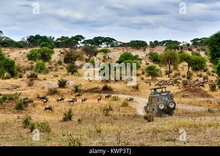 Blue wildebeest and safari car on valley of  Tarangire National Park, Tanzania, Africa - Stock Photo