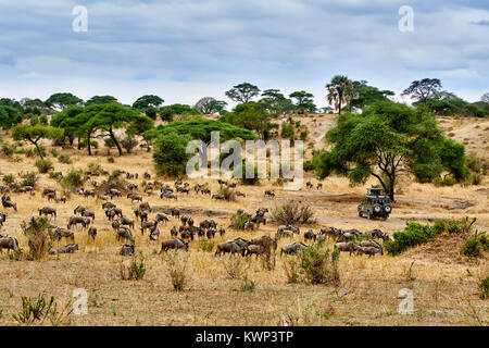 Blue wildebeest and safari car on valley of  Tarangire National Park, Tanzania, Africa - Stock Photo
