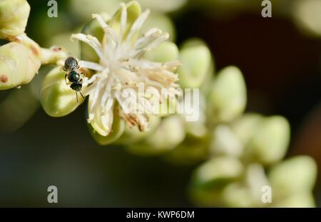 Native bee (Austroplebeia sp.) feeding on palm flowers in the morning, Townsville, Queensland, Australia - Stock Photo