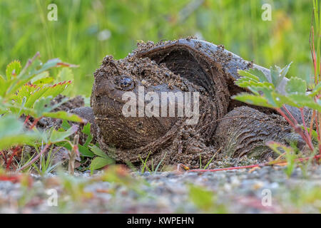 A momma Common Snapping Turtle lays her eggs on the roadside. - Stock Photo