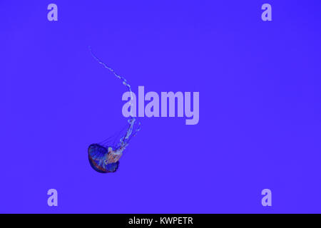 Jellyfish in an aquarium against a violet background. - Stock Photo