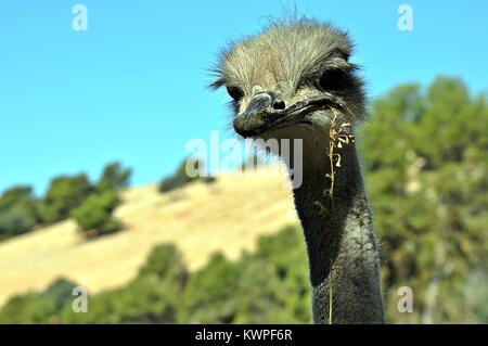 Ostrich face Portrait - Stock Photo