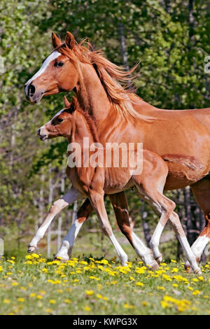 Close up of beautiful chestnut Arabian Mare with few week old Filly galloping together at pasture. - Stock Photo