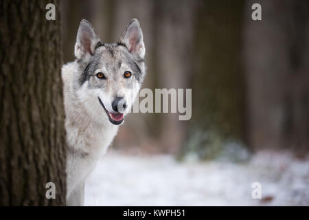 wolf in forrest in winter in forrest - Stock Photo