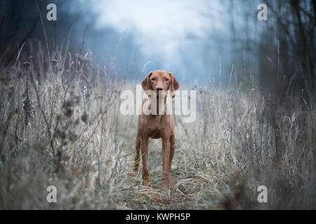 Hungarian hound vizsla dog in the middle of the winter field - Stock Photo