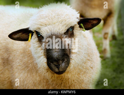 A closeup of an English sheep. - Stock Photo